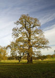 Old Oak Tree in late Autumn Stock Images