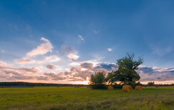 Old oak tree on meadow. Evening sky with pink clouds. Three stacks on green-yellow meadow. Old oak tree patrly with naked brunches, partly with green leaves Royalty Free Stock Photo