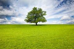 Old Oak Tree in Meadow stock image