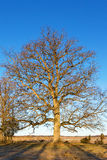 Old oak tree on the meadow royalty free stock photo