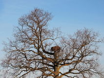 Old oak tree with nest Stock Photography