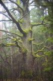 Old oak tree stock photos