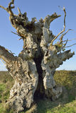 Old Oak Tree Stock Photography