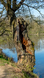 An old oak tree by the pond. Walking by the pond you can see many trees, however, only few of them are cracked and only some are nicely cracked, as this one royalty free stock photos