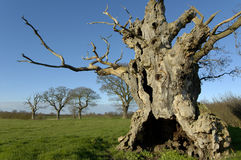 Old Oak Tree Royalty Free Stock Image