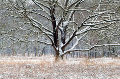 Old oak tree in snow during winter Royalty Free Stock Images