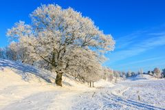 Old oak tree in snowy landscape Stock Images