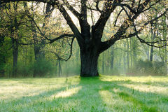 Old oak tree in spring landscape Royalty Free Stock Photo