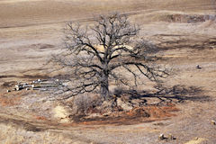 The Strength Of An Old Oak Tree. An old oak tree standing alone royalty free stock photography