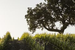 An old oak tree stands guard over a young vineyard Royalty Free Stock Photo