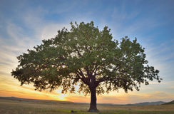 Old oak tree. At sunset Stock Photography