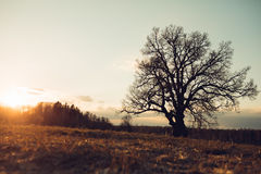 Old oak tree at sunset Stock Photo