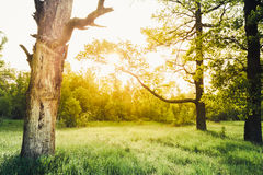 Old Oak Tree at Sunset in Summer Sunny Forest. Nature Green Wood Stock Photography