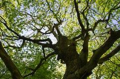 Old oak tree Stock Image