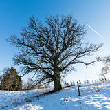 Old oak tree in winter Stock Photos