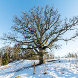 Old oak tree in winter Stock Images
