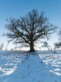 Old oak tree in winter Stock Photo