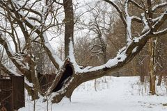 250 years old oak tree in winter stock images