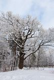 Old oak tree in winter park Royalty Free Stock Images