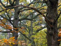 old oak trees Royalty Free Stock Photo