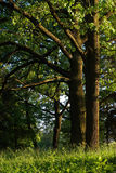 Old oak trees. In the park with side lighting from the evening sun Royalty Free Stock Photos