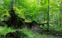 Old oak trees broken lying Royalty Free Stock Photos