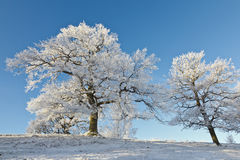 Old Oak trees on the hill Royalty Free Stock Photos