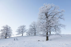 Old oak trees Stock Photography