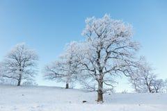 Old oak trees Royalty Free Stock Photos