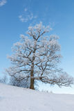 Old oak trees on a hill Stock Photos