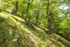 An old oak trees Stock Photography