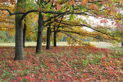 Old oak trees. A number of old oak trees with red autumn leaves Royalty Free Stock Images