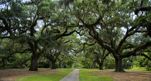 Old Oak Trees Panoramic. Wide shot of 200-year-old oak trees that cover a garden path in the Southeastern United States Royalty Free Stock Image