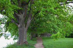 Old oak trees in a park near the river.  Stock Images
