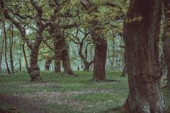 Old Oak Trees. A row of eery oak trees in a forest Royalty Free Stock Photo