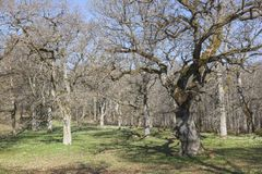 Old oak trees Royalty Free Stock Photography