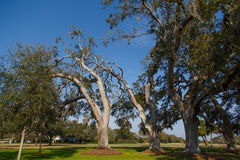 Old Oak Trees in Sunny Park Stock Photos