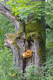 Old oak trunk with fungus in forest Stock Image