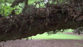 Old Oak Trunk Texture with Moss stock footage