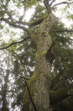 Old oak trunk Royalty Free Stock Photography
