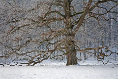 Old oak in winter Royalty Free Stock Image