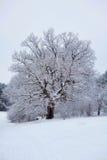 Old oak in winter Stock Photos