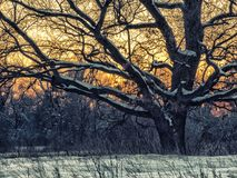 Old oak in winter forest. Picturescue sunset scene Stock Photo