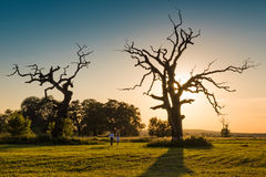 The Old Oaks Royalty Free Stock Photography