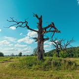 The Old Oaks Royalty Free Stock Photo