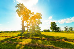 The Old Oaks Royalty Free Stock Photos