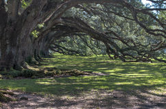 Old oaks Royalty Free Stock Photography