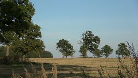 Old oaks group on  farmland field after harvesting stock video footage