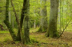 Old oaks and hornbeams. Two old oaks and hornbeams in foreground,early autumn, old natural forest Royalty Free Stock Photo