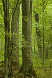 Old oaks and hornbeams Stock Photos